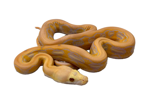 Picture of Female Lavender Albino Tiger Reticulated Python